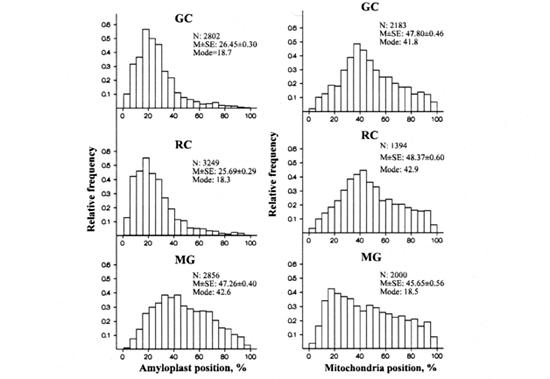 Statolitų - amiloplastų ir mitochondrijų išsidėstymas sėjamosios pipirnės šaknų gravisensorinėse ląstelėse. GC - kontrolė Žemėje, RC - 1 x G centrifuga kosmose, MG - mikrogravitacijos sąlygos